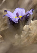 Stamen Pyrography Metal Prints - The Pulsatilla Metal Print by Odon Czintos