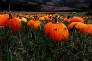 Melon Metal Prints - The Pumpkin Patch . When Nobody Is Looking Metal Print by Wingsdomain Art and Photography