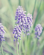 Hyacinth Photos - The Purple Bells by Lisa Russo