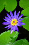 Tawatchai Sanajai - The purple lotus