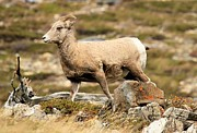 Big Horn Sheep Photos - The Queen by Adam Jewell