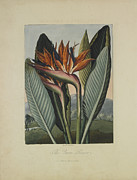 Bird Of Paradise Drawings - The Queen Flower by Robert John Thornton