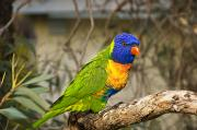 Lorikeet Photos - The Rainbow Lorikeet by Dave Fleetham - Printscapes