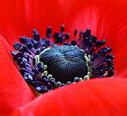 Anemone Prints - The red bed Print by Kristin Kreet