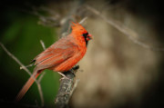 Chad Davis Acrylic Prints - The Red Cardinal Acrylic Print by Chad Davis