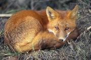 Vulpes Vulpes Posters - The Red Fox Is Usually Recognized Poster by Joel Sartore