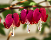 Dicentra Spectabilis Posters - The Red Heart Poster by Robert Bales