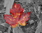 Selective Color Posters - The Red Leaf Poster by Paul Ward
