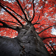 Low Angle View Prints - The Red Tree Print by Philippe Sainte-Laudy Photography