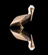 Shorebird Photos - The Reflection of a Pelican by Scott Hansen
