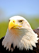 Eagle Metal Prints - The Regal Metal Print by Emily Stauring
