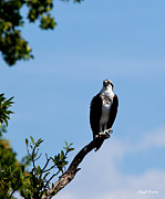 Osprey Florida Framed Prints - The Regal Osprey Framed Print by Michelle Wiarda