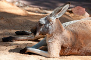 Perth Zoo Prints - The Resting Roo Print by Rob Hawkins