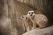 The Rock Of Meerkats Print by Chad Davis