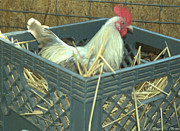 Milk Crate Prints - The Rooster That Laid A Golden Egg Print by Donna Brown