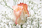 Stem Mixed Media Prints - The Rose Print by Andee Photography