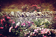 Fushia Photos - The Rose Garden by Stephanie Frey