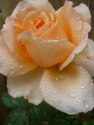 The Rose Print by Kimberly Morin