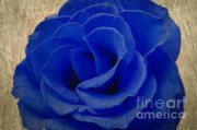Roses Digital Art - The Rose of Sadness by Jeff Kolker