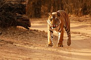Fotosas Photography - The Royal Bengal Tiger