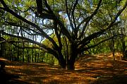 Live Art Photo Prints - The Sacred Oak Print by David Lee Thompson