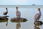Pelicans Framed Prints - The Sentinels Framed Print by Kenneth Albin