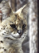 Serval Art - The Serval 1 by Robin Hewitt