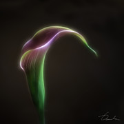 Fractalius Framed Prints - The sexuality of Calla Lily Framed Print by Danuta Bennett