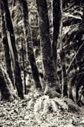 Mossy Trees Prints - The Silent Woods Print by Bonnie Bruno