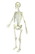 Biomedical Illustration Art - The Skeletal System by MedicalRF.com