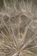 Seedhead Framed Prints - The Slightest Breeze... Framed Print by Anne Gilbert