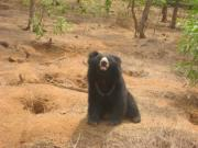 Siddarth Rai - The Sloth Bear