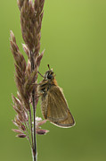 Wildlife Photo Framed Prints - The Small Skipper Framed Print by Andy Astbury