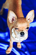 Shorthaired Photos - The Smallest Breed Of Dog by MotHaiBaPhoto Prints
