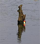 Fish Art Photos - The snag by Robert Pearson