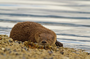Otter Photos - The Snoozer by Tim Grams
