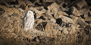 Chad Davis Acrylic Prints - The Snowy Owl Acrylic Print by Chad Davis