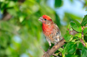 House Finch Posters - The Song Poster by Betty LaRue