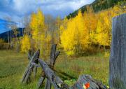 Aspens Metal Prints - The Song of Aspens Metal Print by Tim Reaves