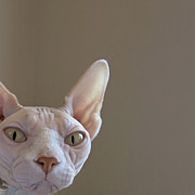 Alien Eyes Photos - The Sphynx by Glennis Siverson