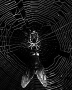 The Spider And The Fly . Black And White Print by Wingsdomain Art and Photography