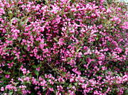 Flowers Photographs Originals - The Spring Bush by Dennis Dugan