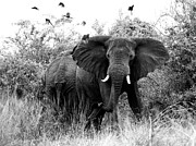 Elephant Photo Posters - The Standoff Poster by Bruce J Robinson