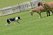 Livestock Photos - The stare - Border Collie at work by Christine Till
