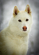 Husky Prints - The Stare Print by Joye Ardyn Durham
