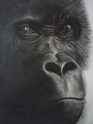 Gorilla Drawings - The Stare by Paul Horton