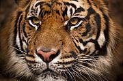 The Sumatran Tiger Cat Print by Chad Davis