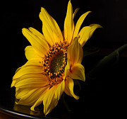 Floral Photographs Photo Metal Prints - The Sun Flower  Metal Print by Davor Sintic
