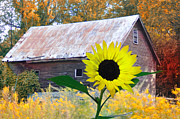 Barn Digital Art - The Sunflower and the Barn by Bill Cannon