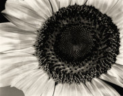 Nature Study Prints - The Sunflower Print by Michael Wade